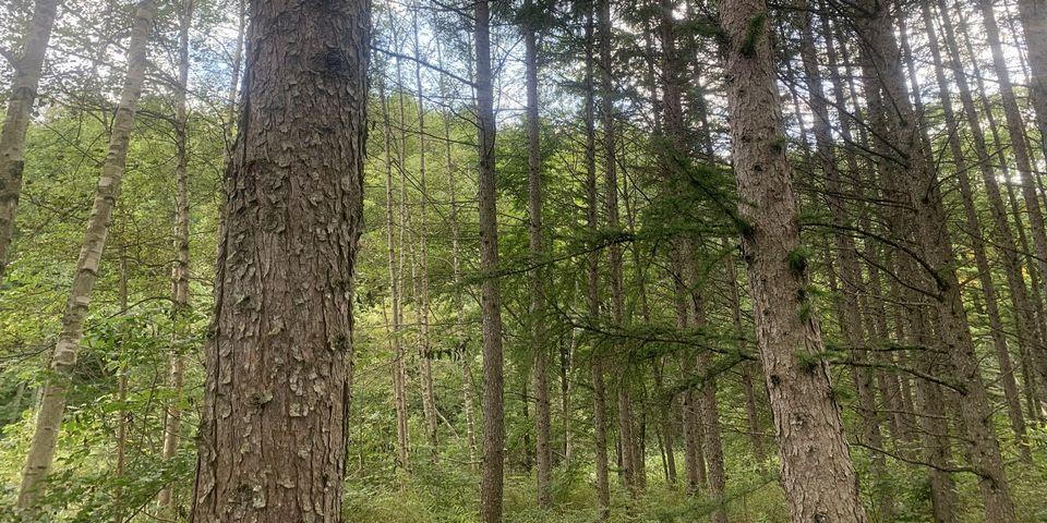 足寄のカラマツは樹高が高く、生長が早いです。