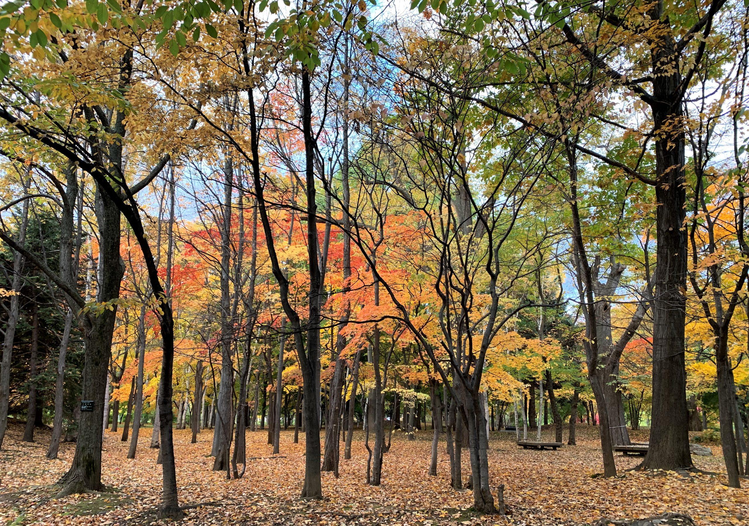 北海道の広葉樹は、ミズナラやシラカバが代表的で有名ですよね。