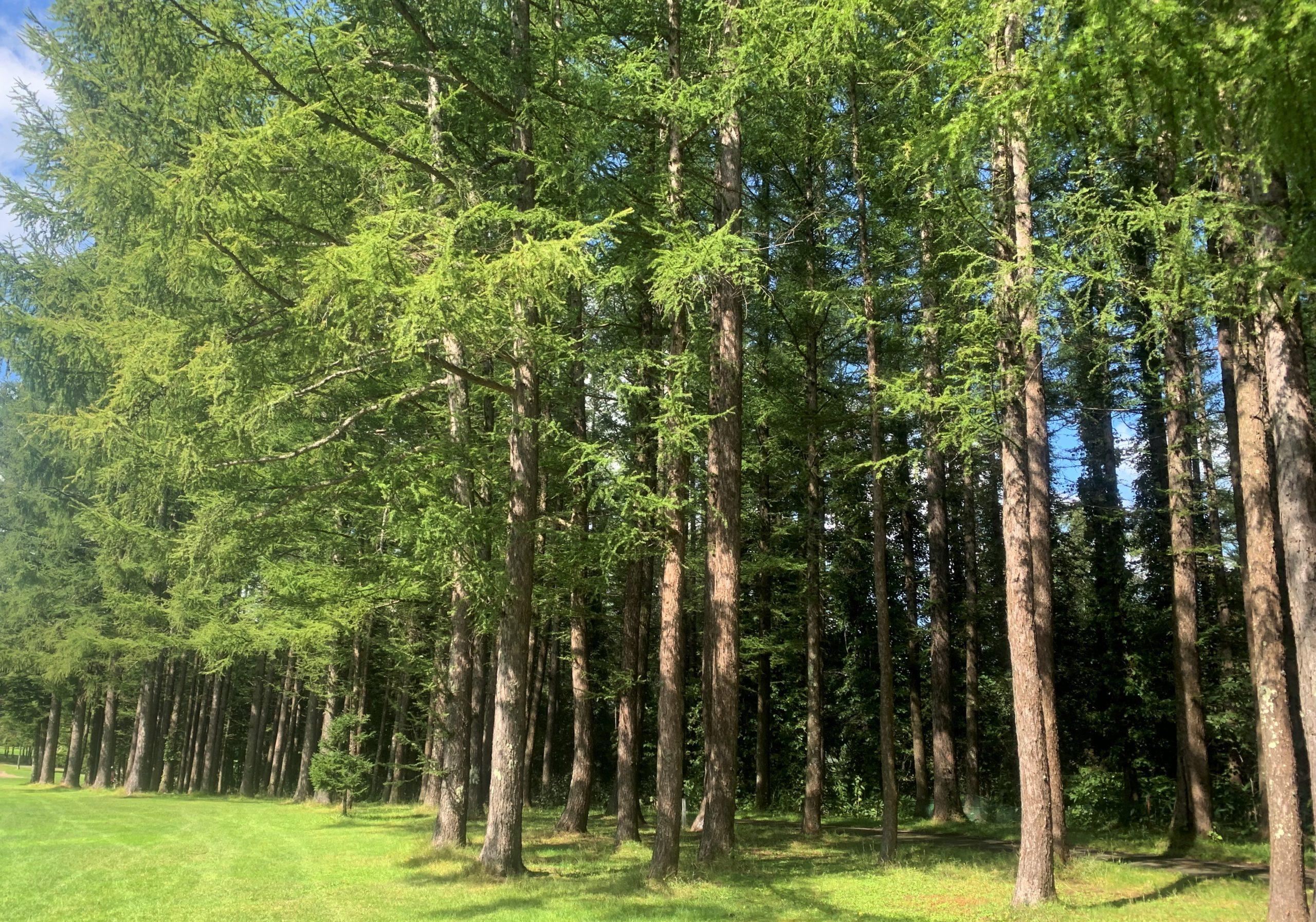 北海道では、カラマツ、トドマツ、エゾマツなどが代表的な針葉樹
